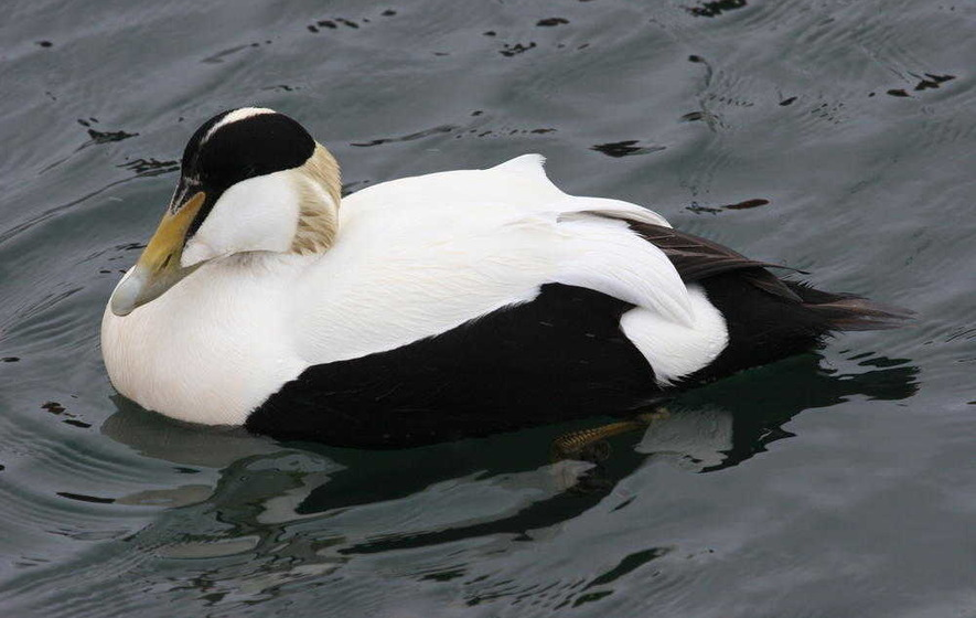 Take on nature: The eider duck, alone in the storm