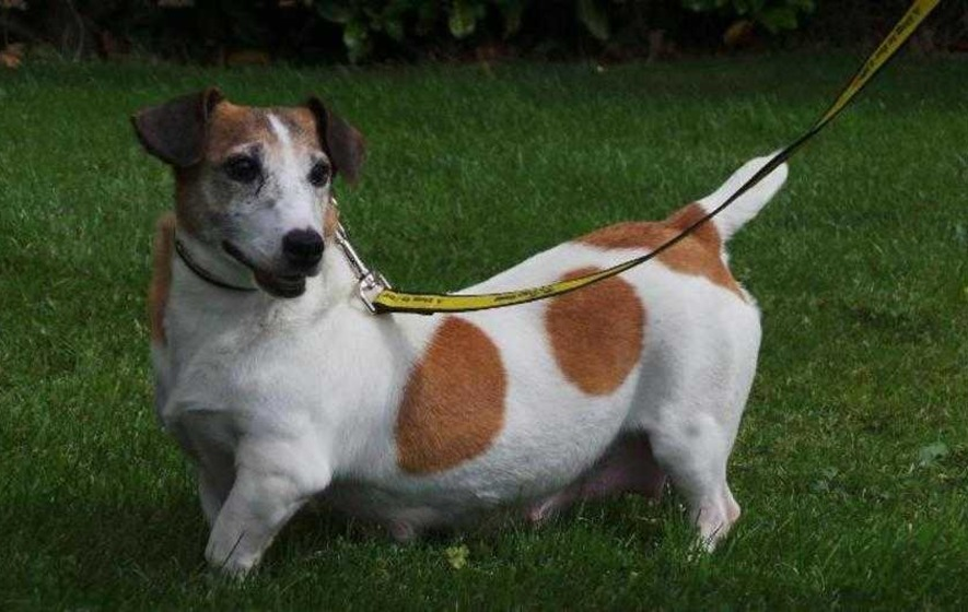 Video: Home needed for Purdy, the Jack Russell with a 'wonky walk'