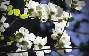 The Casual Gardener: Dogwood has the loudest bark