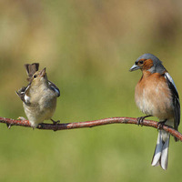 Take on nature: Chaffinches are not quite bachelor birds