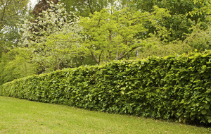 The Casual Gardener: Growing a good hedge is an art form