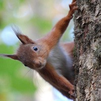 Squirrel pox affecting endangered reds identified in Tullymore forest