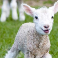 The healthy joys of Spring lamb