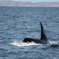 Dopey Dick: Derry killer whale found alive near Skye 39 years on