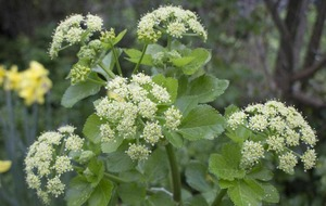 The Casual Gardener: Alexanders are not so great
