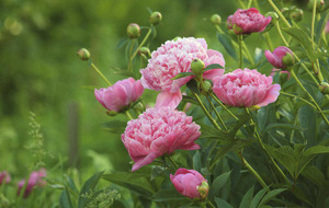 The Casual Gardener: Pondering peony pleasure
