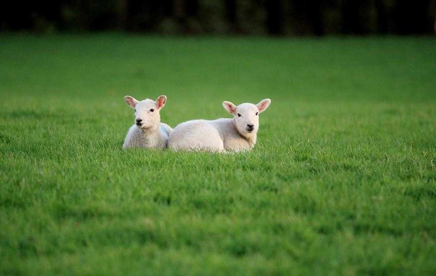 Spring lamb prices 'not good enough' say farmers
