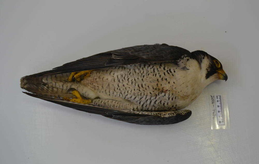Police appeal after three birds of prey poisoned in Co Antrim