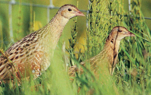 Corncrake heard on Rathlin for only second time in 17 years