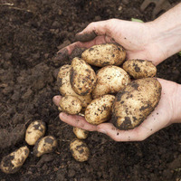 Eating potatoes increases risk of high blood pressure