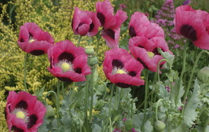 The Casual Gardener: A bad case of poppy love