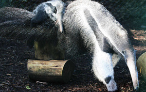 Six-month old giant anteater at Belfast Zoo finally named Zira