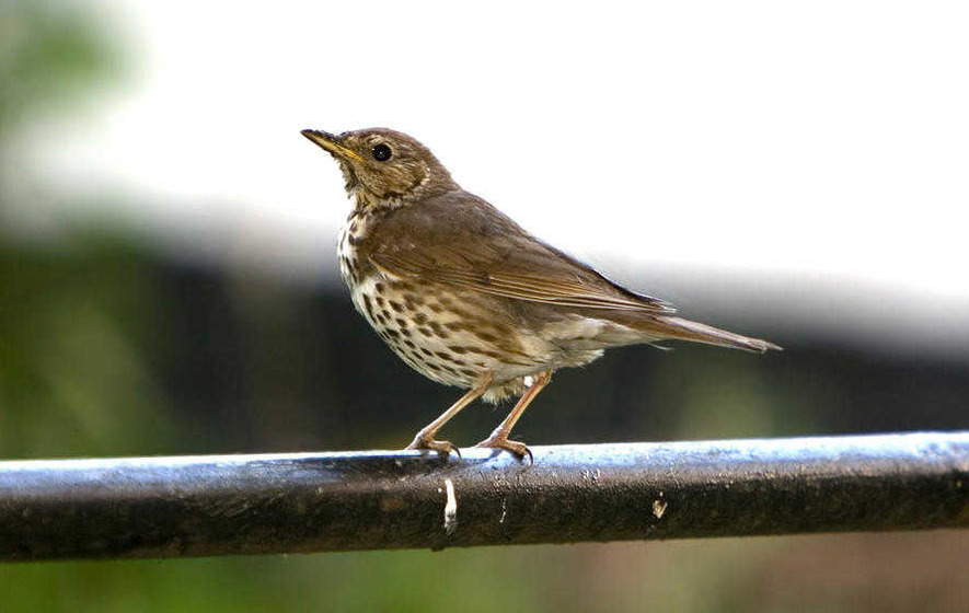 Take on Nature: Song thrush's sound sparks a journey into the past