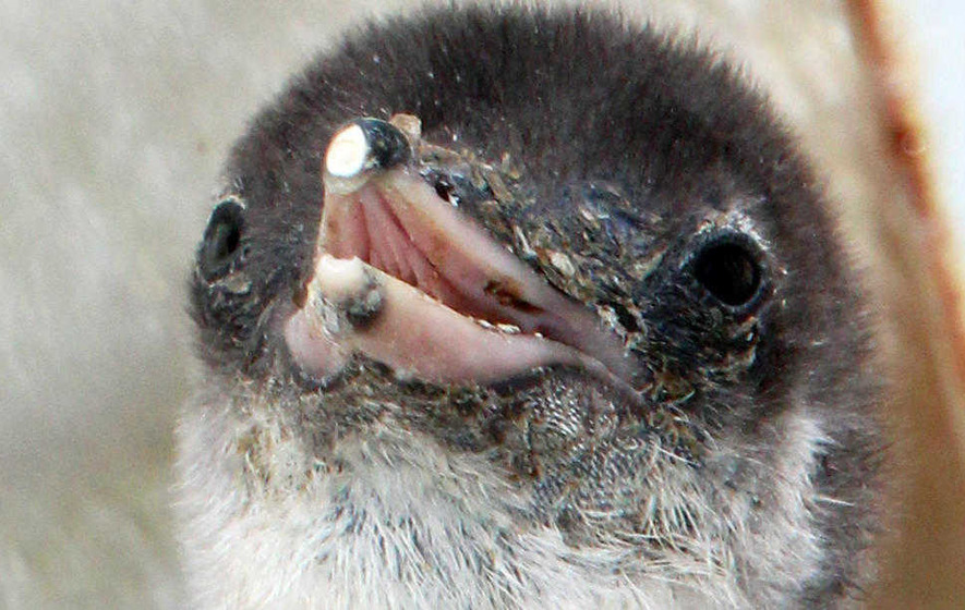 Penguin chicks hatch at Belfast Zoo in first batch of the year
