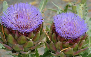 The Casual Gardener: I prefer to look at artichokes than eat 'em