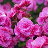 The Casual Gardener: Begonias' beauty is in the eye of the beholder