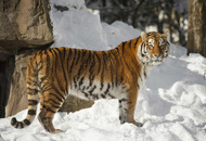 Woman mauled to death by Siberian tigers in Beijing