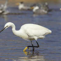A shower of white fire: celebrating the Little Egret