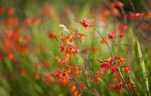 Getting fired up with blazing Crocosmia