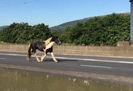 Runaway horse causes M1 traffic chaos