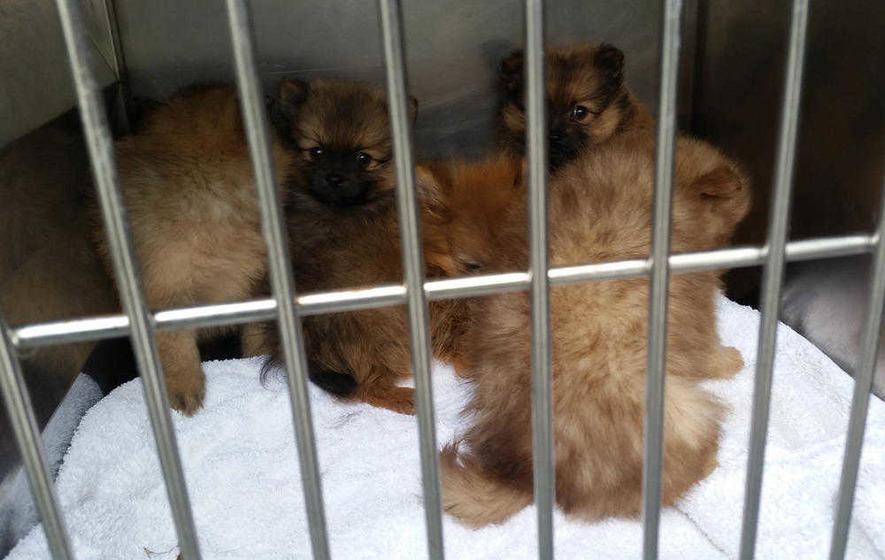 Pomeranian Puppy For Sale In Ireland