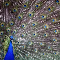 Peacock causes delays on motorway near Belfast