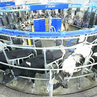 Northern Ireland dairy farmers will consider strike action