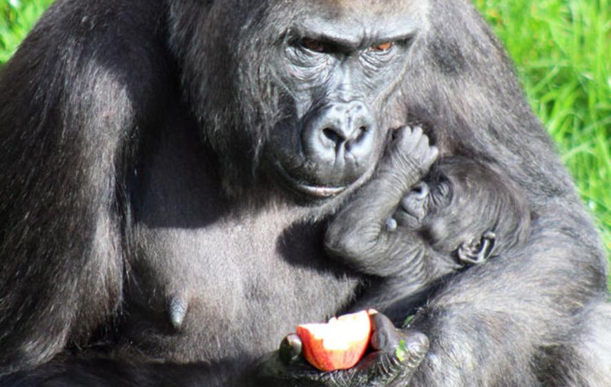 Belfast Zoo celebrates arrival of baby gorilla Olivia