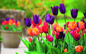Going to pot with tulips