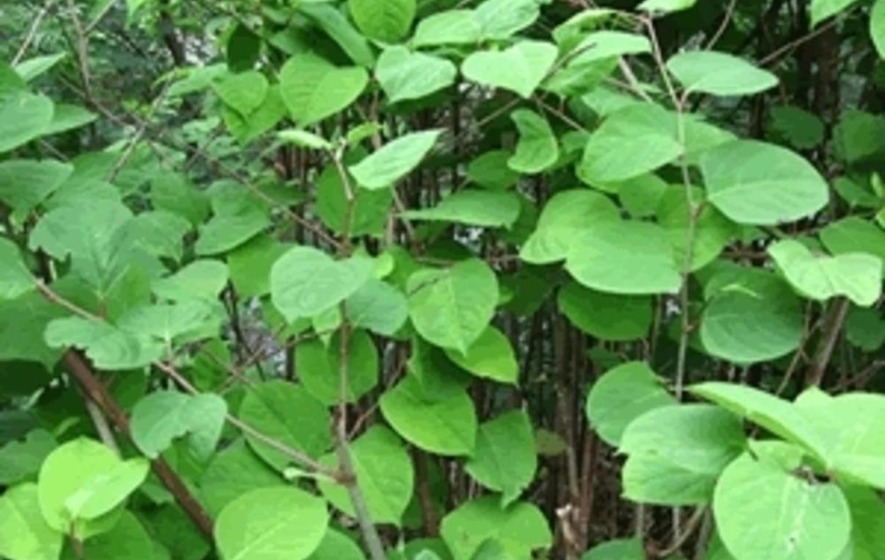 GAA Faces Legal Action Over Japanese Knotweed At Belfast's