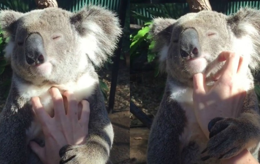 Video: You've never loved anything as much as this koala loves getting its belly rubbed