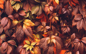 The Casual Gardener: Wind scuppers autumn splendour of Virginia creeper