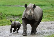 Video: Baby black rhino takes its first steps