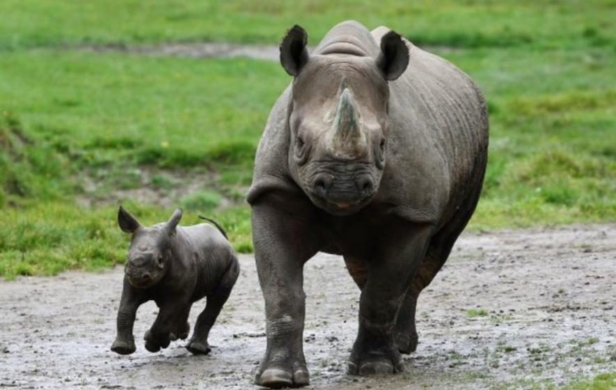 Video: Baby black rhino takes its first steps - The Irish News