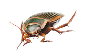 Take on Nature: Close encounter with a lost great diving beetle