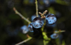 Outdoors: It's a sloe in for autumn