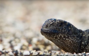 Make sure you don't miss this popular Planet Earth clip of the snakes chasing the brave iguana