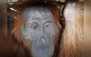 Operation attempts to restore sight of endangered orangutan shot by air rifle