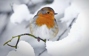 Take on Nature: Roots of the robin's close ties with festive season