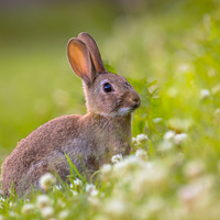MOD to cull rabbits to protect Magilligan sand dunes