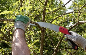 Things to do in the garden this week: Tips on pruning with a saw
