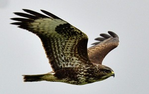 Buzzards do not pose a risk to animals, bird charity says