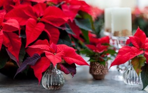 Perk up your Poinsettia to complement your home