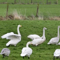 Concern for Whooper Swans on proposed A6 route