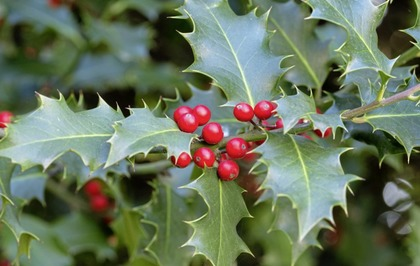 Christmas Holly Tree.Take On Nature The Holly And The Ivy From Celts To
