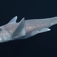 'Ghost shark' has been caught on camera for first time