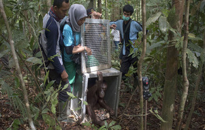 Video: two orangutans are returned to the wild