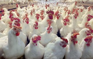 Poultry sector expansion fuelled by more than chicken feed