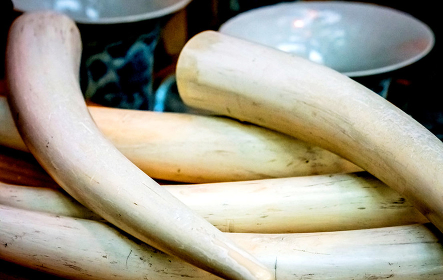 Illegal ivory, alligator and crocodile heads among items seized by customs