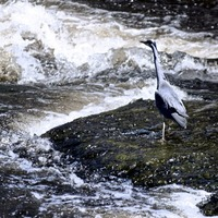 Take On Nature: In January we could well learn from that patient fisherman the heron